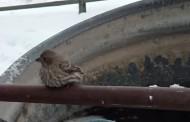На всички им е студено: Спасяване на врабче за начинаещи