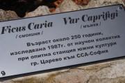 Смокиня на повече от 250 години расте в Царево