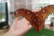 Най-голямата пеперуда на света се излюпи в Бургас