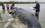 Мъртъв кит с пластмасови боклуци в стомаха е открит в Индонезия