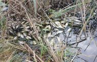 Експертие за умрялата риба край Поморие: Няма кислород