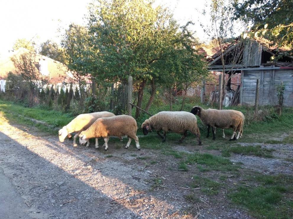 Ново напрежение сред фермерите в Болярово. Единственото огнище на чума остана там