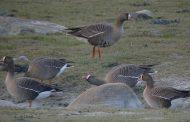 За пръв път у нас са наблюдавани 11 екземпляра от застрашен вид птица