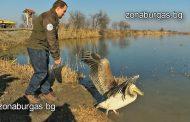 Пуснаха простреляния пеликан Виапонт на свобода