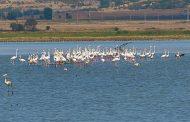 Все повече розови фламинги летуват в Бургас/видео/
