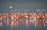 Розово фламинго подлудява летище Бургас