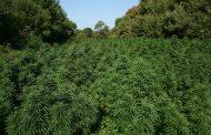 Гледат мярката на задържаните за нивата от 2.5 декара марихуана край Зидарово