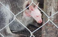 Пак се роди кенгуру- албинос в бургаския зоопарк /видео/