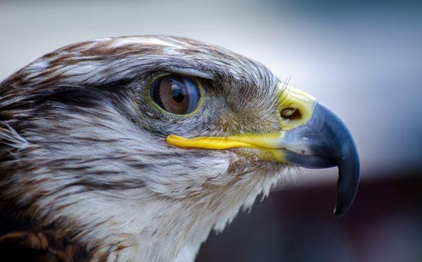 Откриха мъртви грабливи птици край Своге, вероятно отровени