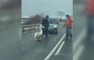 Шофьори спасиха лебед, излязъл на пътя Поморие- Сарафово/видео/