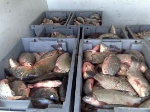 НАП откри нарушения при търговци на риба, крият обороти