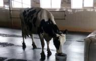 Отличиха крава-рекордьор по млеконадой