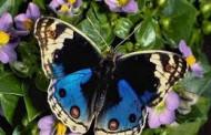 Пак ще има пеперуди във Флората