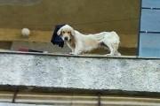 Кучета-скелети живеят на балкон /снимки/