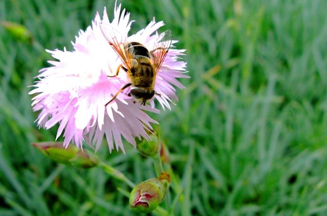 Внимание пчелари – между сряда и петък ще пръскат посевите с рапица в Бургаско