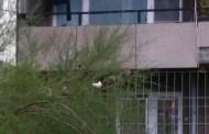 Бяло врабче в Сливен