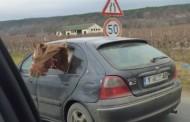 Кон се вози в кола