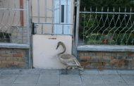 Спасиха лебед в Поморие. Бродил по улиците