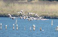 Нова рекордна численост на розовото фламинго в Атанасовско езеро