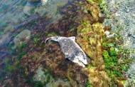 РИОСВ - Бургас: Броят на мъртвите делфини намалява